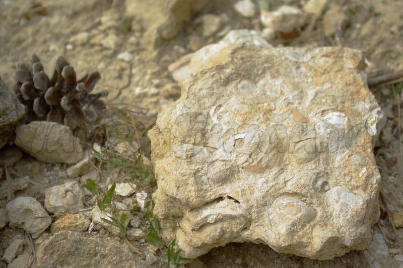 calcarul cochilifer
